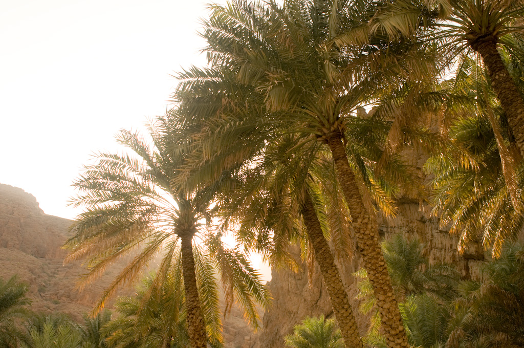 Oman: palms before sunset